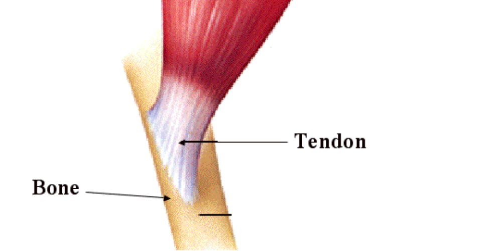 Muscle-Tendon-fig1